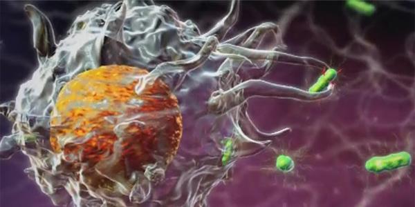 Вроден (природен) имунолошки систем - Што е тоа?